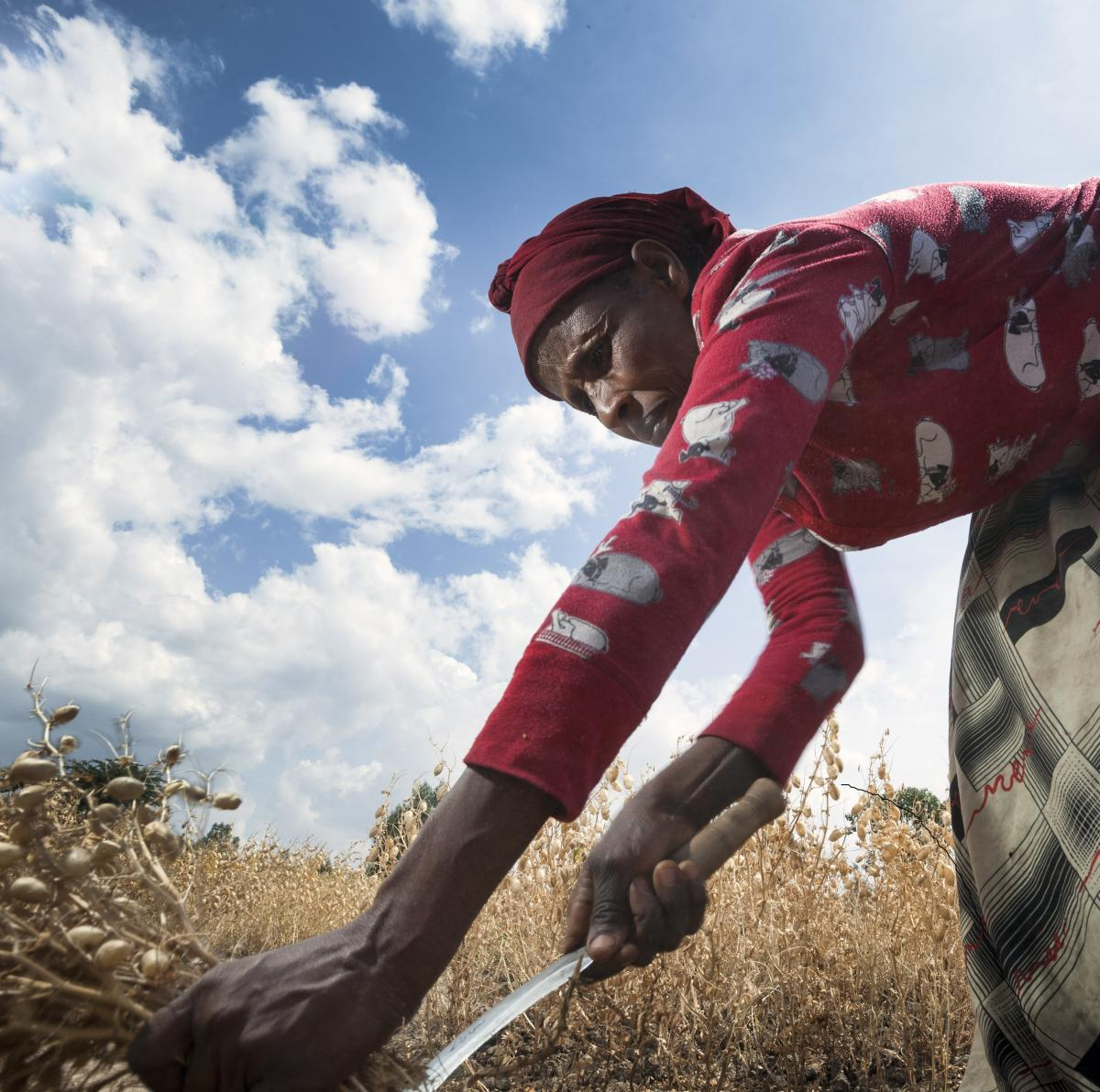 Ethiopian woman farmer cutting wheat