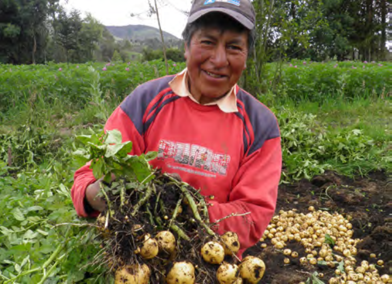 potato farmer in cuaical-guachucal